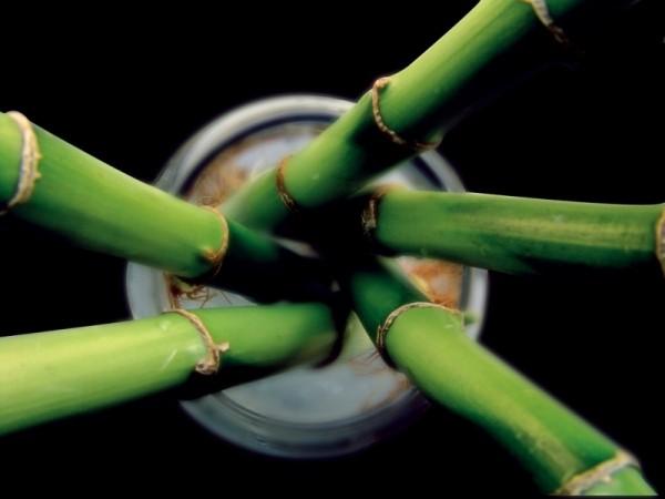 bete de bambus