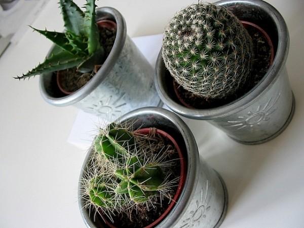 cactusi si aloe vera