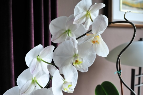 Decorare cu orhidee